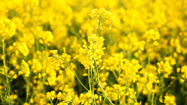 Canola plant or rapeseed plant