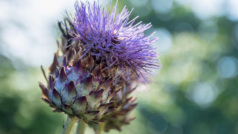 wild cardoon plant with purple flower buds
