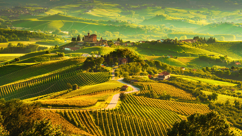 Overview of green vineyard in Italy