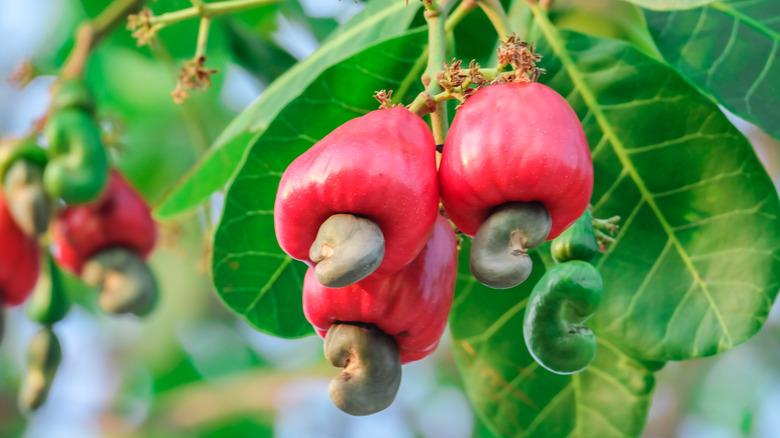 cashew apple on a tree branch