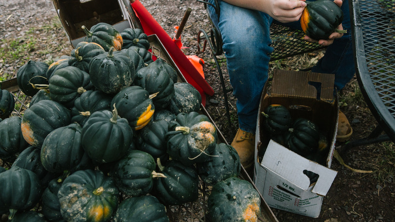 A stack of acorn squash by a farmer