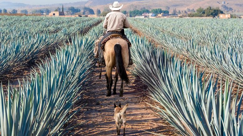 Agave Farmer on Horse