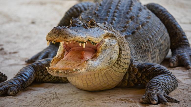 Alligator opening jaws