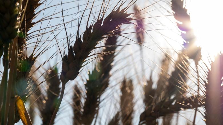 Barley grain against a blue sky