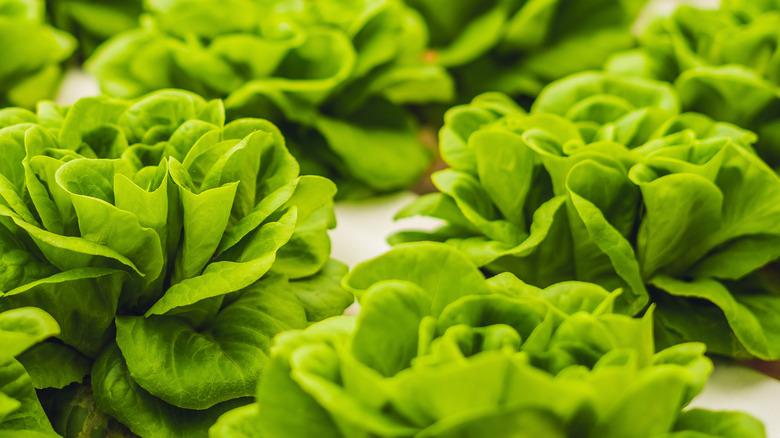 Several heads of butter lettuce