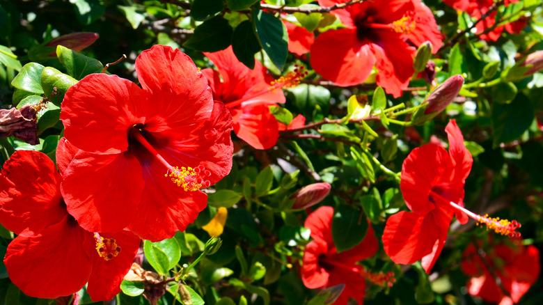 Hibiscus blooms in the sun