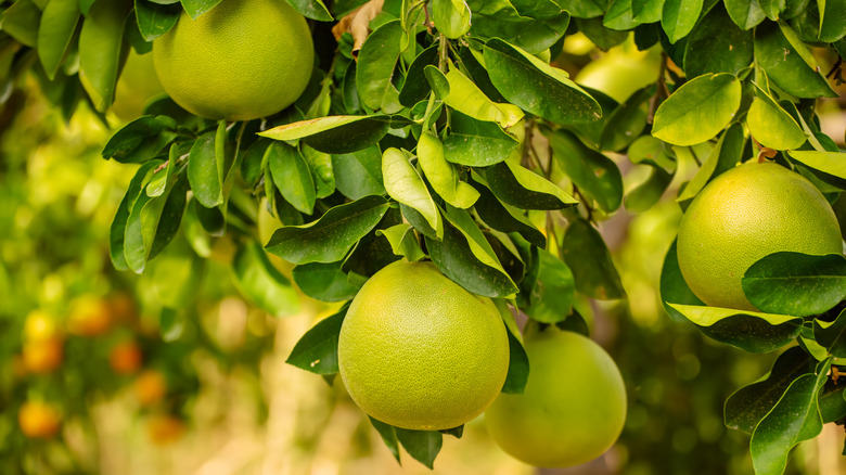 ripe green pomelos on tree
