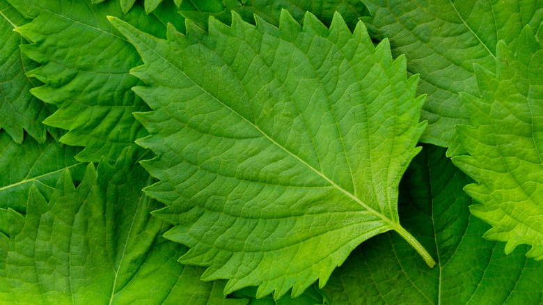 Green shiso leaves stacked