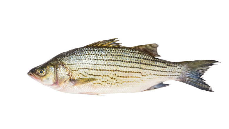 Whole striped bass on white background