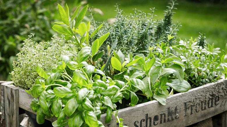 Wooden crate with fresh herbs