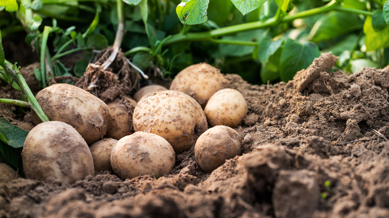 Potatoes in earth and near vines