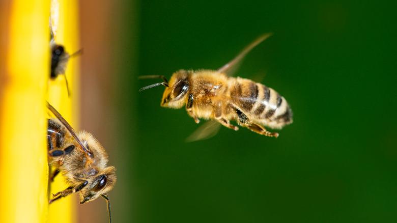 Bee flying toward wall
