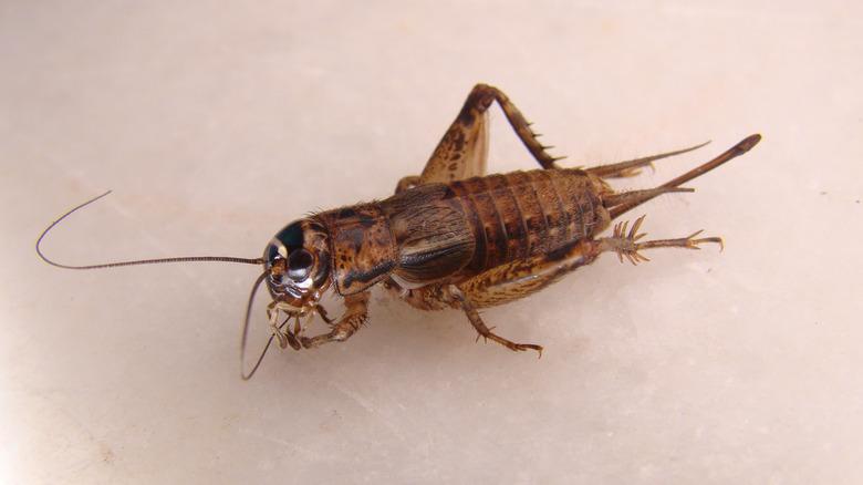 one lone cricket