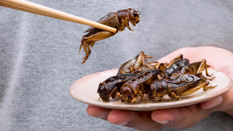 Eating crickets with chopsticks