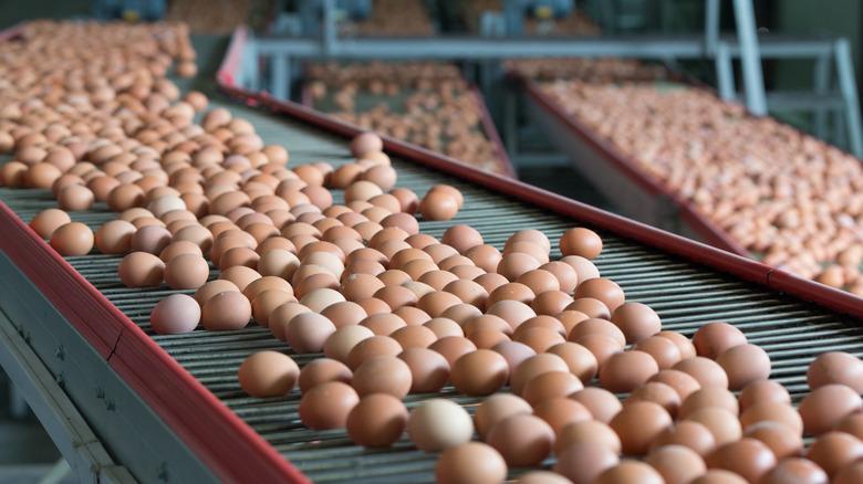 Brown eggs on conveyers
