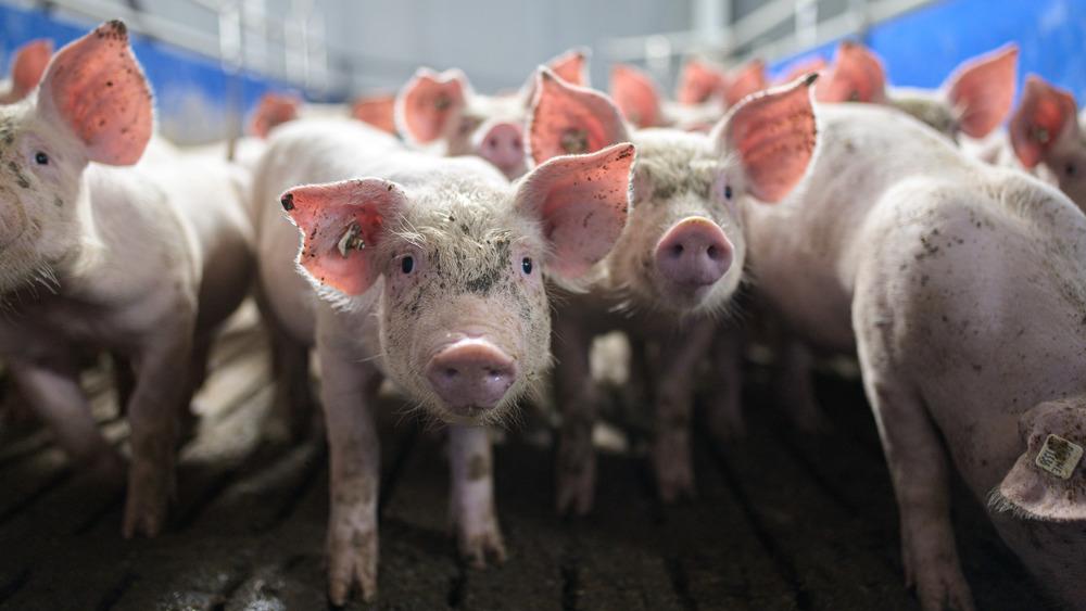 Piglets in a pen