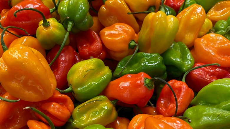 Green and red habanero peppers