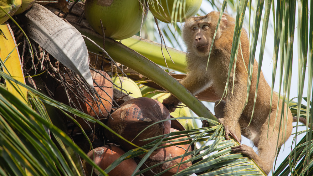 Monkey picking a coconut