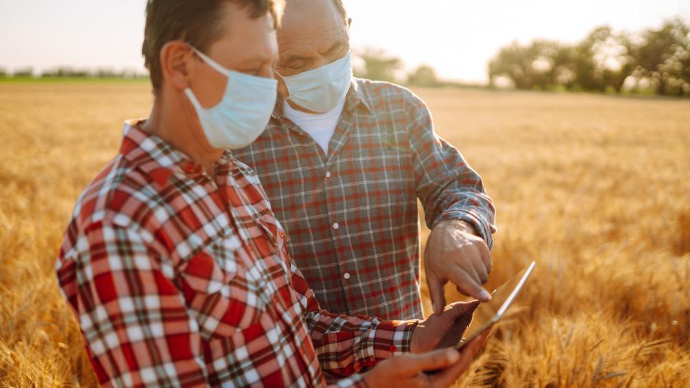 Two farmers wearing face masks in a wheat field