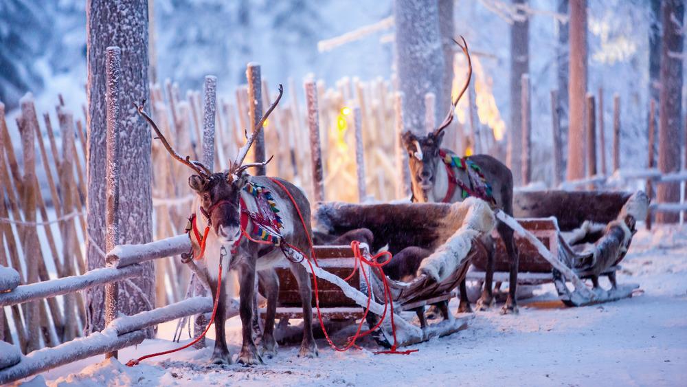 Laplander reindeer ready by sleighs