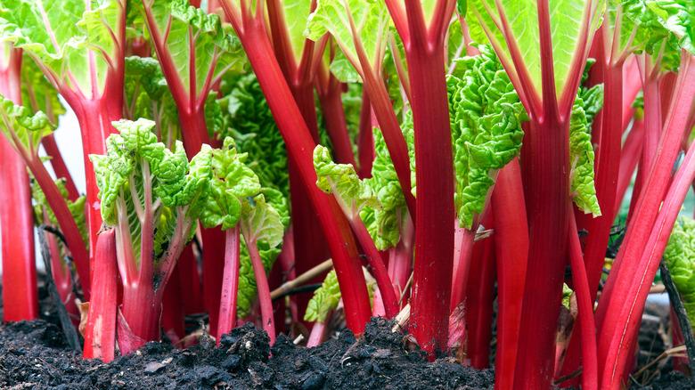Rhubarb stalks growing