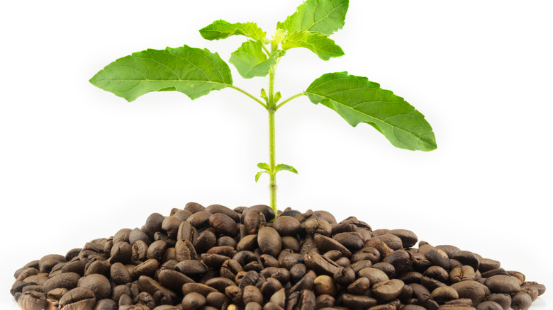 Tree with coffee beans on white background