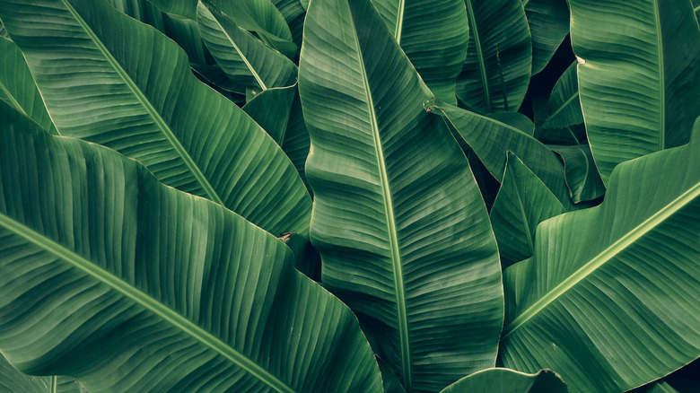 Closeup of large green banana leaves