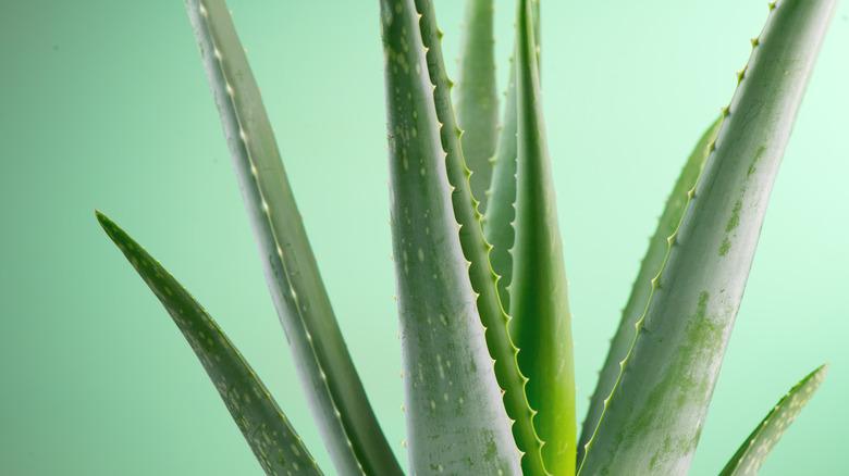 Close up of aloe vera plant leaves