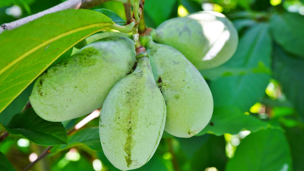 Pawpaw fruit on a tree
