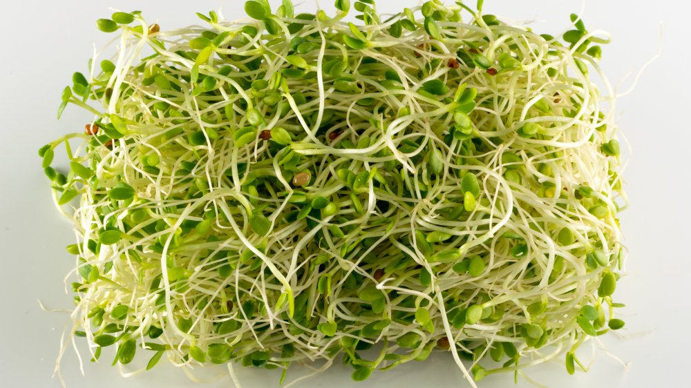 Red clover sprouts